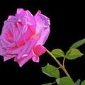 Belinda's Dream Rose 005 by George Bostian