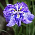 Bellevue Botanical Garden Iris 6402 by Bob Neiman