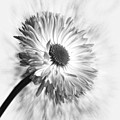 Bellis In Mono  #flower #flowers by John Edwards