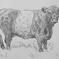 Belted Galloway Cow Pencil Drawing by Mike Jory