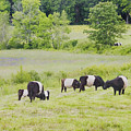 Belted Galloway Cows Rockport Maine Poster Prints by Keith Webber Jr