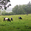 Belted Galloways 2 by Linda Drown