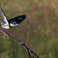 Belted Kingfisher Liftoff by Art Cole