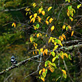 Belted Kingfisher Williams River  by Thomas R Fletcher