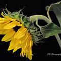 Bending Sunflower by Jeannie Rhode
