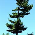 Beneath This Tree Lies Robert Edwin Peary by Cora Wandel