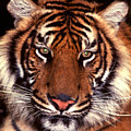 Bengal Tiger - 2 by Paul W Faust -  Impressions of Light