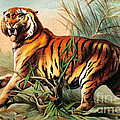 Bengal Tiger, Endangered Species by Biodiversity Heritage Library