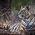 Bengal Tiger by Hitendra SINKAR