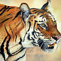 Bengal Tiger by Paul Dene Marlor