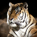 Bengal Tiger Sitting In Silent Shadows by Robin Frazier
