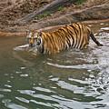 Bengal Tiger Wading Stream by Douglas Barnett