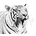 Bengala Tiger by Angel Ortiz