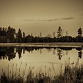 Bentley Pond Pines In Sepia by Dale Kauzlaric