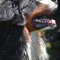 Bernese Mountain Dog Basking In The Sunshine by DejaVu Designs
