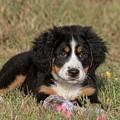 Bernese Mountain Dog Puppy by Russell Myrman