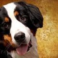Bernese Mountain Dog by Smart Aviation
