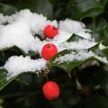 Berries In Snow by Shannon Turek