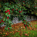 Berries And Autumn Leaves In Ireland by James Truett