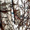 Berries And Birches by Paul Sachtleben