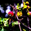 Berries by Angus Hooper Iii