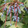 Berries by Jim Simms