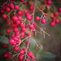 Berries by Martina Schneeberg-Chrisien
