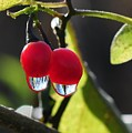 Berry Droplets by Barbara Treaster