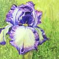 Betty's Iris by Katherine  Berlin