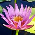 Beyond Beautiful Water Lily by Joe Wyman
