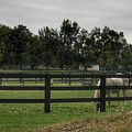 1004 - Beyond The Fence White Horse by Sheryl Sutter