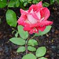 Bi-colored Rose In Rain by Shirley Heyn