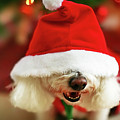Bichon Frise Dog In Santa Hat At Christmas by Nicole Kucera