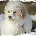 Bichon Poo Pup by Eleanor Abramson