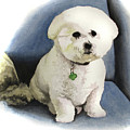 Bichon Sonny by Ferrel Cordle