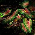 Bicolor Caladium by Greg Reed