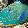Bicolor Parrotfish by Dave Fleetham - Printscapes
