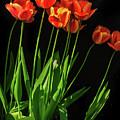 Bicolor Tulips by Robert Bales