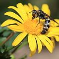 Big Bee On Yellow Daisy by Carol Groenen