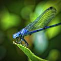 Big Blue Eyes Damselfly  by Mitch Shindelbower