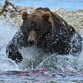 Big Brown Bear Trying To Catch Salmon In Stream by Dan Friend