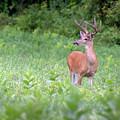 Big Buck by Bill Wakeley