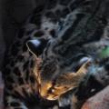 Big Cat by Craig Incardone