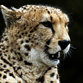 Big Cats 101 by Ben Yassa