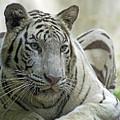 Big Cats 117 by Ben Yassa