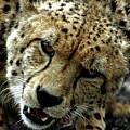Big Cats 50 by Ben Yassa