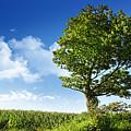 Big Elm Tree Near Corn Field by Sandra Cunningham