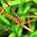 Big Eyed Dragonfly by Randy Aveille
