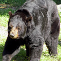 Big Florida Bear by D Hackett
