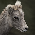 Big Horn Lamb by Richard Rivard